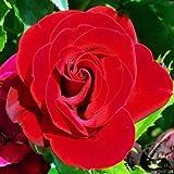 PERFECT PLANTS Rosen zum 40. Jahrestag für besondere Anlässe im 3,5 Liter Topf