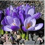120PCS Molte varietà Saffron Semi Zafferano semi di fiore zafferano Crocus Seeds non è l'Zafferano Bulbi 9