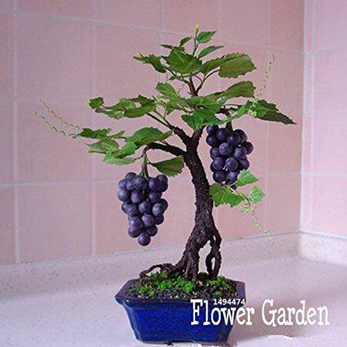 promozione-miniatura-vinaccioli-di-vite-terrazza-syrah-vitis-vinifera-pianta-dappartamento-50-semi-s