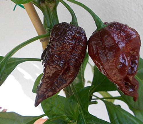 Trinidad Scorpion Chocolate 10 Samen ***Rarität*** -Neu- Von Samenchilishop