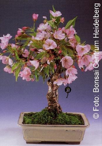 Tropica - Bonsai - Flores- y Cerezo ornamental (Prunus serulata) - 30 Semillas