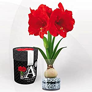 Amaryllis red lion vase offrir 1 bulbe de fleur for Amaryllis exterieur