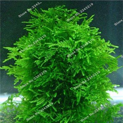 1bag un 200pcs Rare Aquarium Planten mousse de Java Semence à gazon Raros Aquario Fish Tank aquatique Graines de plantes Maison & Jardin Plantes Cadeaux 1