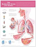 The Respiratory System and Asthma - Tabla anatómica