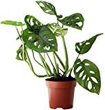 Rare Indoor House Plant, Monstera Adansonii aka Swiss Cheese Plant, with Free Next Day Delivery; Carefully Packaged Comes with a Detailed Care Guide; Ideal for Home or Office & Improving Air Quality