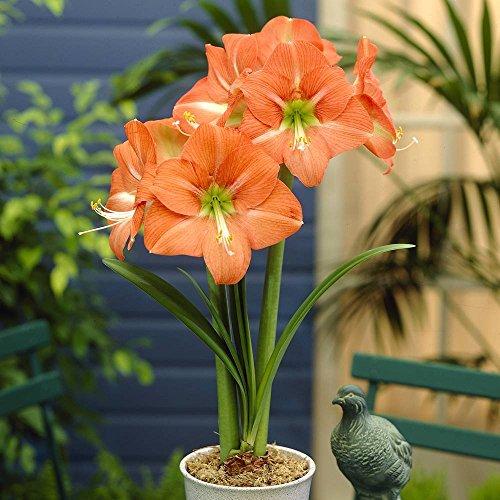Amaryllis Hippeastrum Nagano 26/28 cm 1 flower bulb orange
