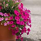 Portal Cool 1000 Petunia Dwarf Mixed Blumensamen Hängen Helle bunte Garten-Blumen