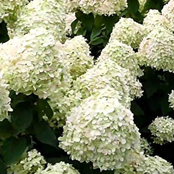 Shop Meeko Hydrangea arborescens 'Grandi' 15cm Topf Größe