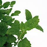 Bio Zitronenmelisse Kräuterpflanze