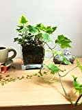 Best Home-Cube Indoor Plants - Easy Plants English Ivy Hedera in Square Glass Review