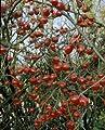 Parkrose Rosa canina 'Kiese' A-Qualität Wurzelware von Rosen-Union auf Du und dein Garten