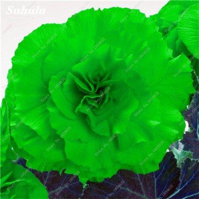 Nouveau! 150 Pcs Begonia Graines Bonsai Graines de fleurs Bonsai Maison & Jardin Flor Plantes en pot Purifier l'Office Air Fleurs de bureau 20