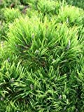 Bergkiefer, Pinus mugo var. mughus Krummholzkiefer 20 - 30 cm breit im 3 Liter Pflanzcontainer