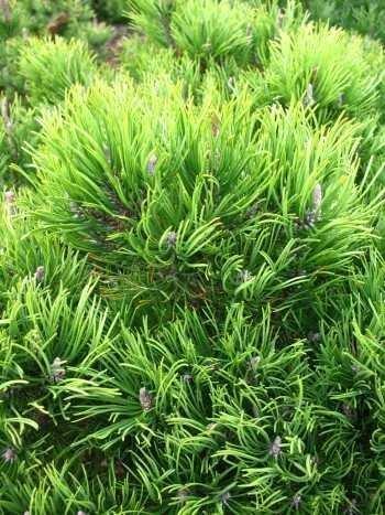 Pinus mugo pumilio Latschenkiefer Kr/üppelkiefer Kiefer Zwergkiefer Pflanze 30cm