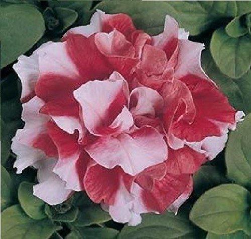 Il vous suffit de graines de fleurs???Petunia???Double Duo Rouge et blanc F1?750?graines en granul?s???Bulk Lot
