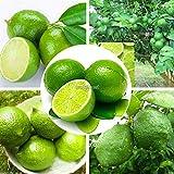 Portal Cool 20Pcs Kaffernlimette Seeds Citrus Aurantifolia Samen Hausgarten Bonsai Wst