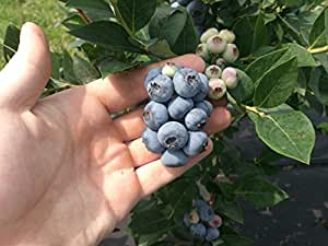 Blueberry Plants Imported from USA/ 5 Plants-(Sharpblue Variety suitable for Hot-Cool Climate)1.5yrs Old.Grows in Container/Lawn/Patio/Garden/Pot.Book your plants Now and get Delivery in the 1st week of September 2016!!