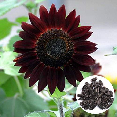 Qulista Samenhaus - 20pcs Selten Schwarz Sonnenblume Helianthus Sonnenblumensaat Blumensamen als Schnittblumen mehrjährig winterhart -