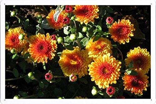 metallo-poster-targa-in-metallo-piastra-flower-tin-sign-chrysanthemums-flowers-flowerbed-flower-buds