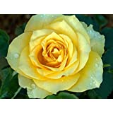 Indian Gardening Live Yellow Rose Plant - Yellow Rose Grafted Plant In Plastic Pot - 1 Plant