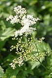 2er-Set - Filipendula ulmaria - winterhart - echtes Mädesüß - Wiesenkönigin, weiß - Landlust Pflanzentipp