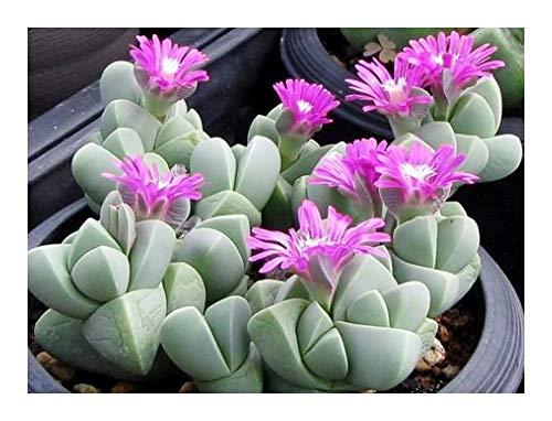 Gibbaeum petrense - Mesembryanthemum - 15 graines