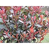 SANHOC Semi Pacchetto: Photinia x fraseri Little Red, in nove centimetri SeedsSEED