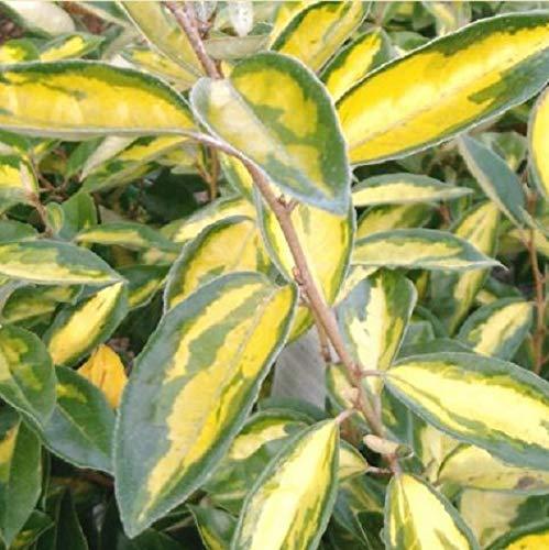 Wintergrüne - Elaeagnus