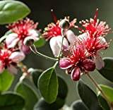 Acca Sellowiana - Brasilianische Guave - Feijoa - Ananas Guave - verschiedene Größen (100-110cm - 8,4 ltr.)