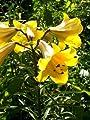"""Lilium - Trompeten-Lilie """" Royal Gold """" von GHA-Thulke - Du und dein Garten"""