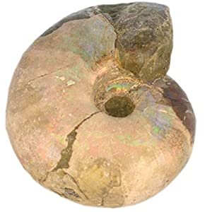 Ammonit – Perlmutt Madagaskar