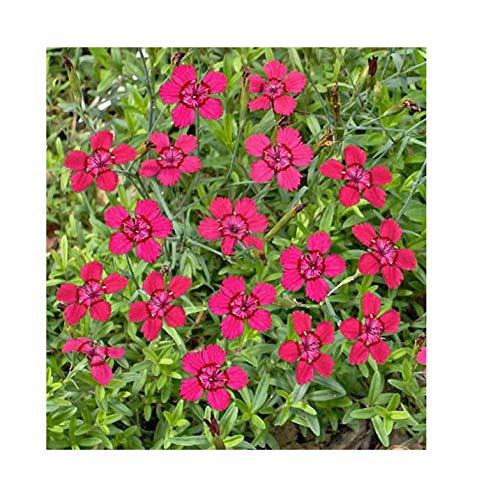 """1x Rote Heidenelken """"Brilliant"""" (Dianthus deltoides)-Pflanze Garten K-P29"""