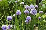 Go Garden 25 - Semillas: Las semillas de la cebolleta verde - tan sabroso !!!!! Y Jefes de floración bonitos !!!!!