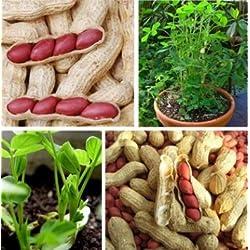 Chuhe 100 Stk Samen Erdnusssamen, Keimfähige Erdnuss Samen, Peanut Seeds, Keimgetestet