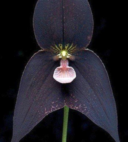 Orquídea cara de mono negro - Orchid Monkey Face Black - 20 semillas