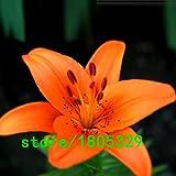 Pinkdose Semillas GGG Raras 100PCS Lirio anaranjado plantas raras de flores a domicilio semillas de flor de la jardinería bricolaje para jardín de plantación: Rojo
