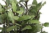 Echter Gewürzlorbeer Laurus nobilis 5 Samen