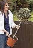 Olive Tree Standard 90-100cm tall