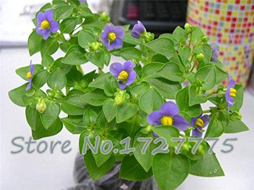 violet-blumensamen-garten-levkoje-usambaraveilchen-samen-100-farben-partikel-zu-wahlen-bag