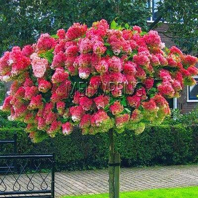 fash lady big 20 pz vaniglia fragola ortensia fiore bonsai per la piantagione di casa perenne outdoor bonsai da interno facile da coltivare: 2