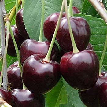 Pianta alberello da frutto albero di ciliegia durone nero for Pianta di ciliegio