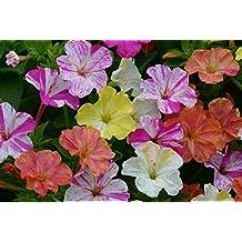 45x Mirabilis Jalapa Lila Garten Frische Samen Pflanze Saatgut #45