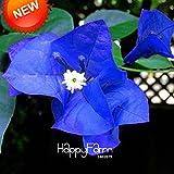 Heißer Verkauf! 100 PC / Beutel Samen einzigartige blaue Bougainvillea Spectabilis Samen Perennial Bonsai Pflanze Blumensamen, # 3IHPII