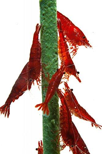 Natura eholic–Gamberetti lecca-lecca, Popeye–spinaci '–5Lollies–Gamberetti Fodera/Mangime per pesci acquario