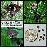 Portal Cool 20+ Schwarz Bat Blumensamen (Fledermausblume) seltene tropische Fauna Garten