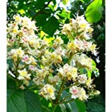 Bach Flower Remedies (White Chestnut, 30ml)