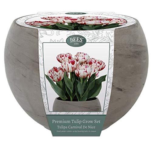 """Kit per la coltivazione di Tulipani color bianco e striature rosse tipo """"Carnival"""". Completo di bulbi, terriccio per la coltivazione ed un vaso in pietra di basalto grigio Diam. 22 cm"""