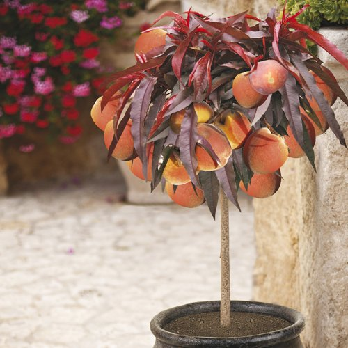 peach-crimson-bonfire-bare-root-tree-1m