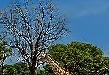 Wizard + Genius 5087-4P-1 Fototapete Running Giraffes