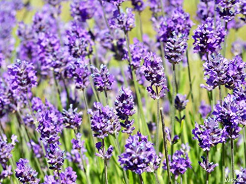 100 x Lavandula angustifolia 'Hidcote Blue' (Lavendel) ab 1,19 € pro Stück
